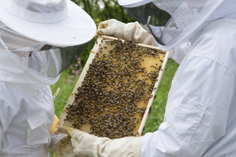 Odporność z ula – mleczko pszczele