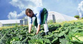 Ernte von Gemse auf dem Feld durch einen Bauern per Hand - Biohof