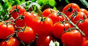 pomidory-1280859