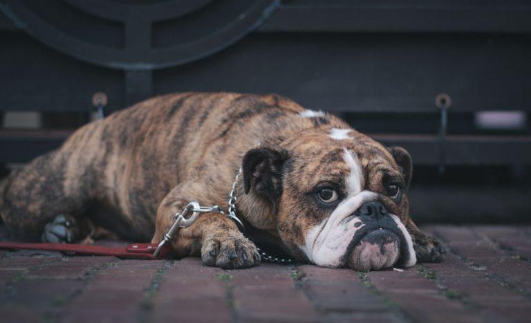 Hodowanie psów w przeglądarce – czemu nie?