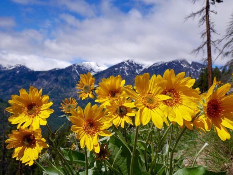 Arnika górska – 5 faktów, które Cię zaskoczą